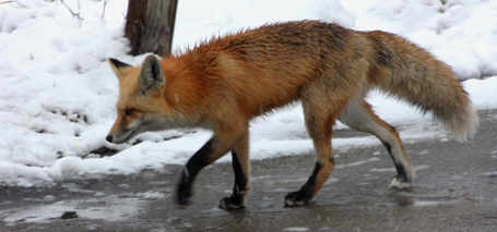 Is this fox foraging for food or heading to the Visitor's Center? / Photo by Joe Peterson