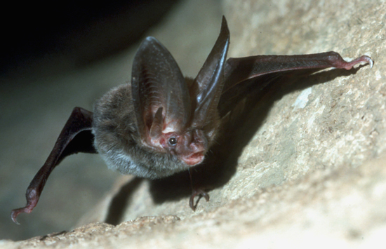 Big-eared bat on cave wall