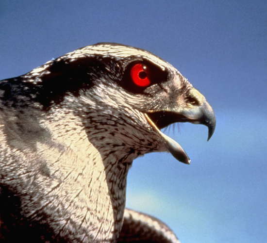 Goshawk cry