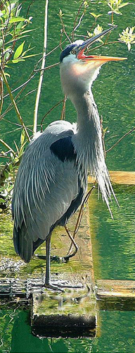 Heron on the pond.