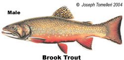 Brook Trout Male