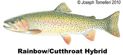 Rainbow Cutthroat Hybrid Trout