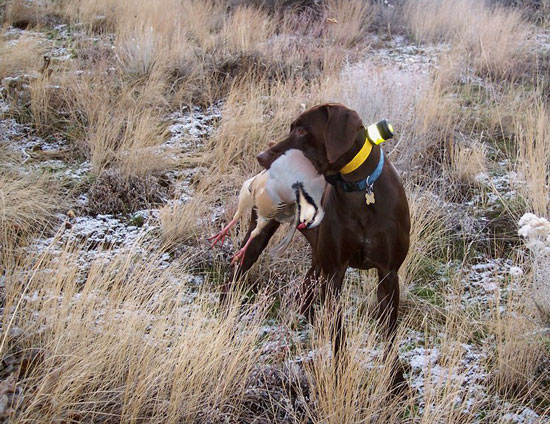 Upland game bird outlook 2015 idaho fish and game for Idaho fish and game phone number