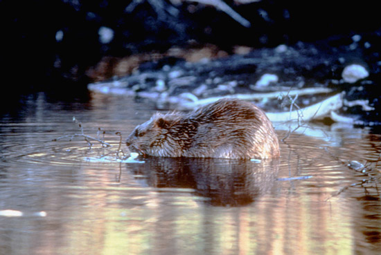 Beaver on winter pond
