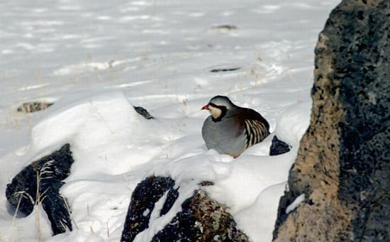 Chukar and Gray Partridge - Hunting Information | Idaho Fish