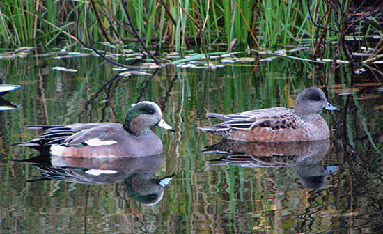 Wigeons / Photo by Cristina Watson