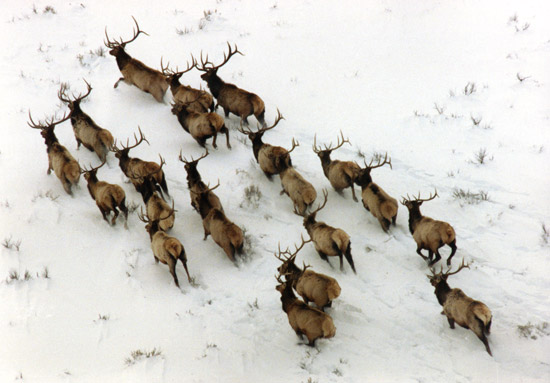 Bull Elk in Snow / Photo by Ted Chu