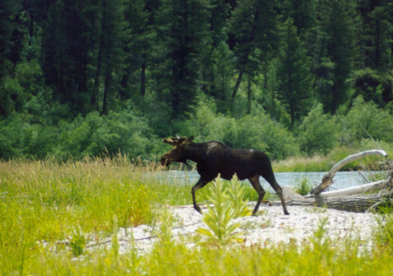 Moose rocky riverbank