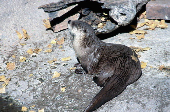 River otter dozing on bank