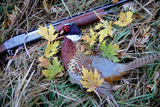 Pheasant and Shotgun / Photo by Sharon Watson