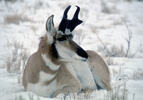 Pronghorn Antelope buck / Photo by Gary Will