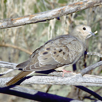 Mourning Dove on Branch / Photo by Niels Nokkentved