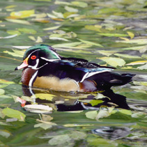Male Wood Duck on Pond