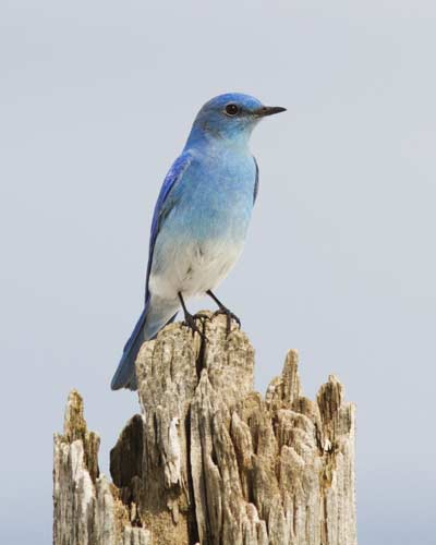 Mountain Bluebird © ShutterStock