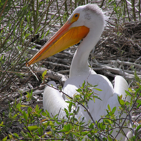 American white pelican / Photo by Colleen Moulton