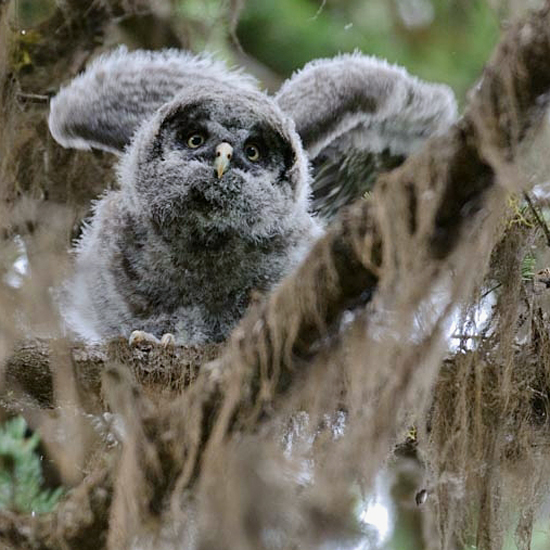 Great Gray Owl Chick / Photo by Sarah Jessup