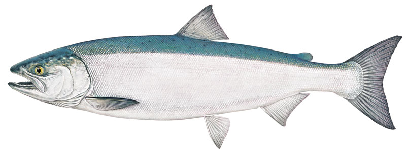 Coho salmon bright, illustration by Joseph R. Tomelleri