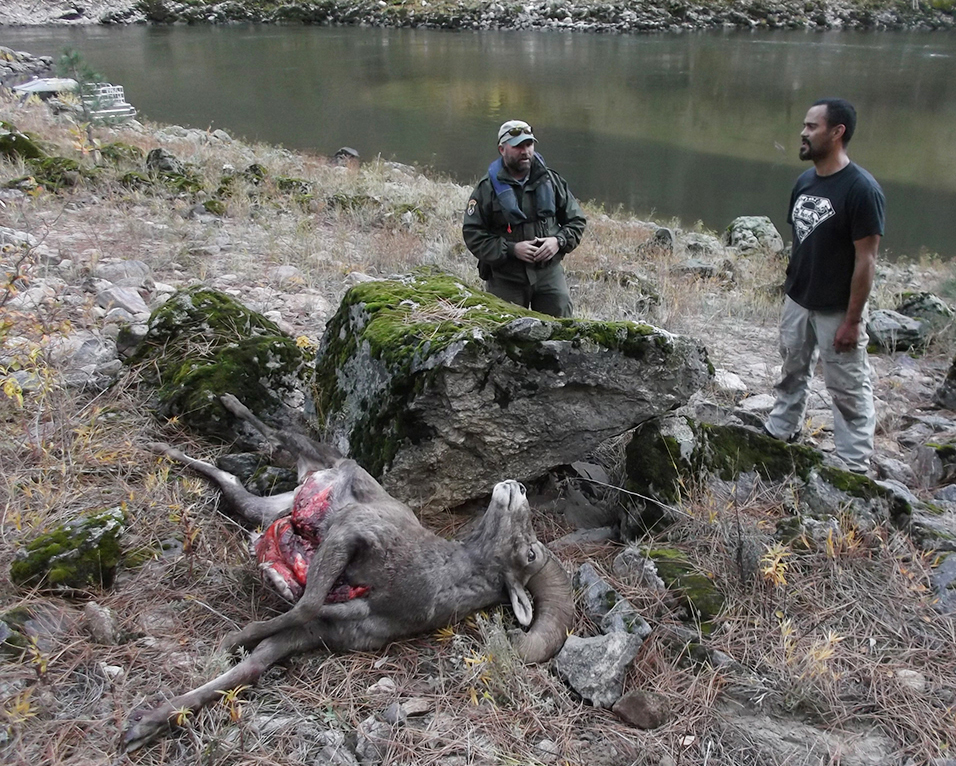 Sheep poacher receives lifetime hunting ban jail time for Idaho fish and game hunter report