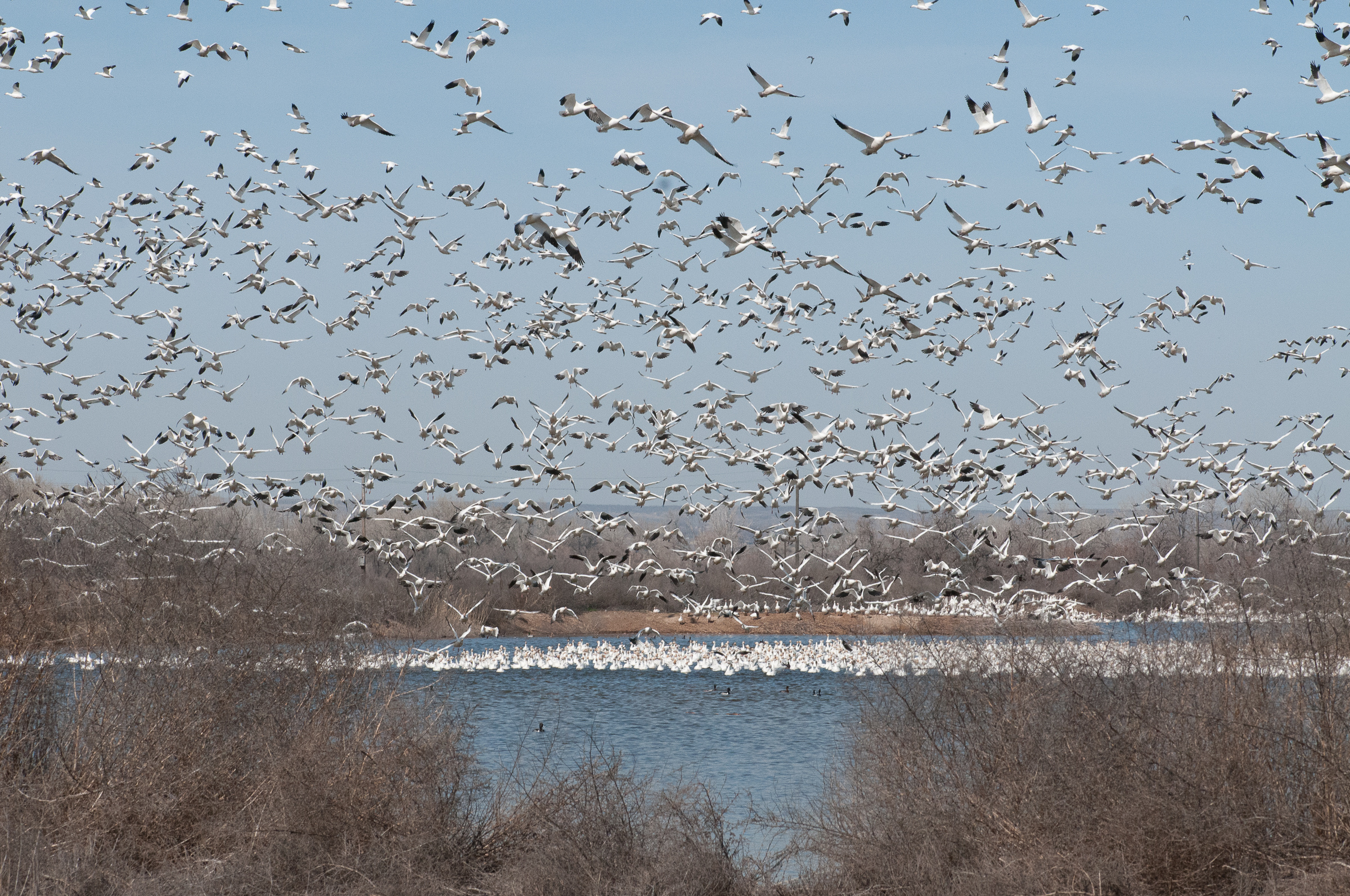 Fort Boise WMA snow geese in flght