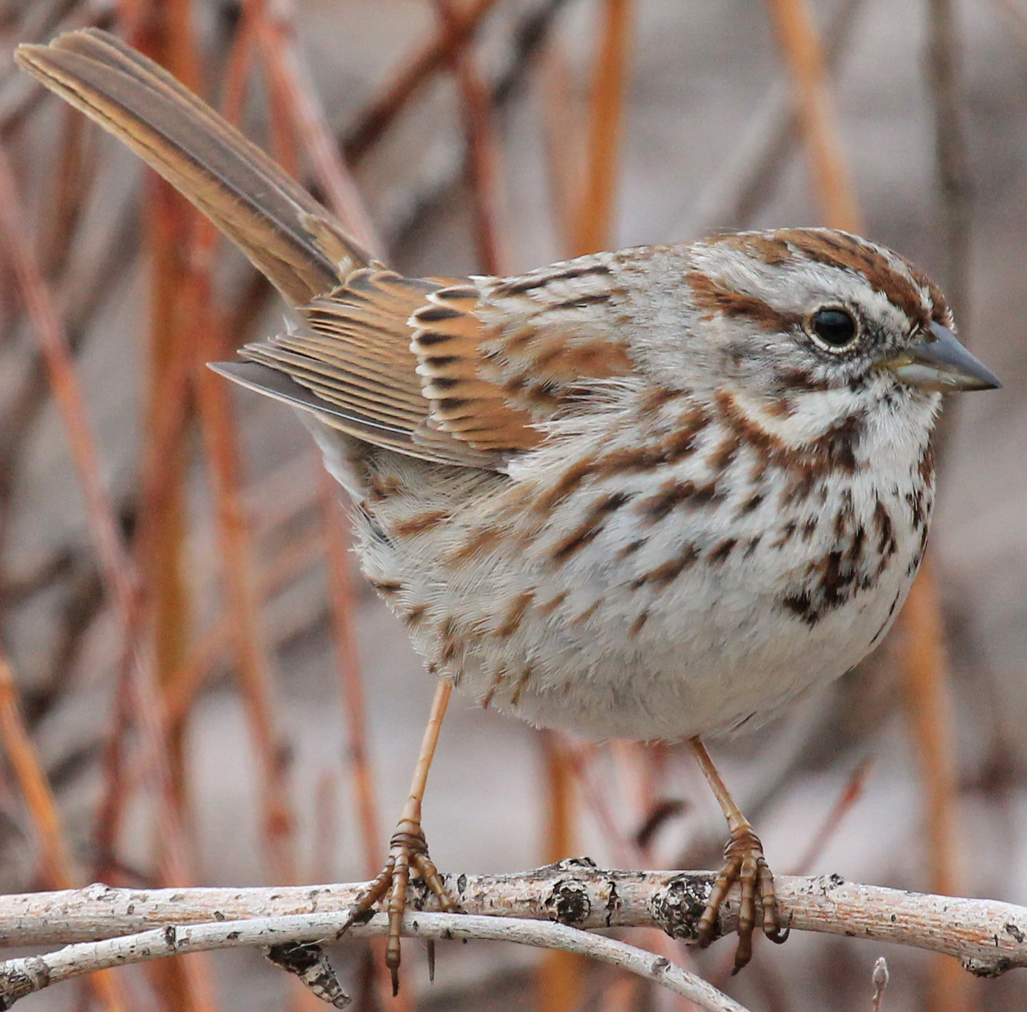 song sparrow on branch Wallace Keck May 2011