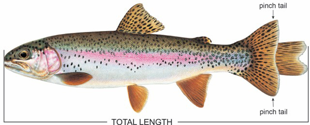 Total length graphic / Fish artwork © Joseph R. Tomelleri, All rights reserved.