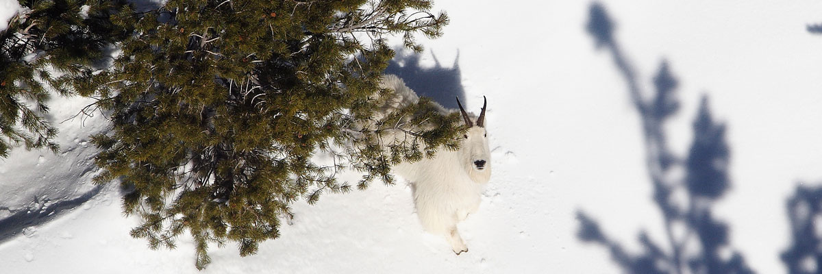 Mountain Goat snowy treeline from above / Photo by Tom Schrempp
