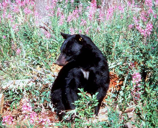 tagged black bear in flowers