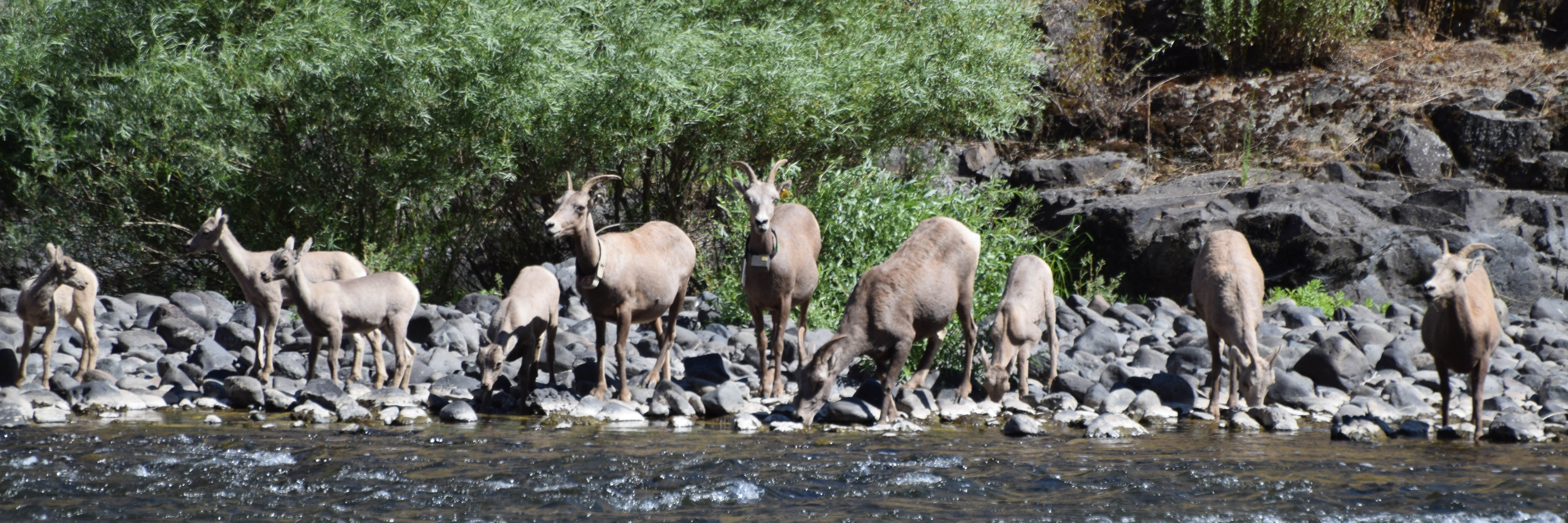A group of bighorn sheep ewes and lambs drink water along a rocky riverbank.