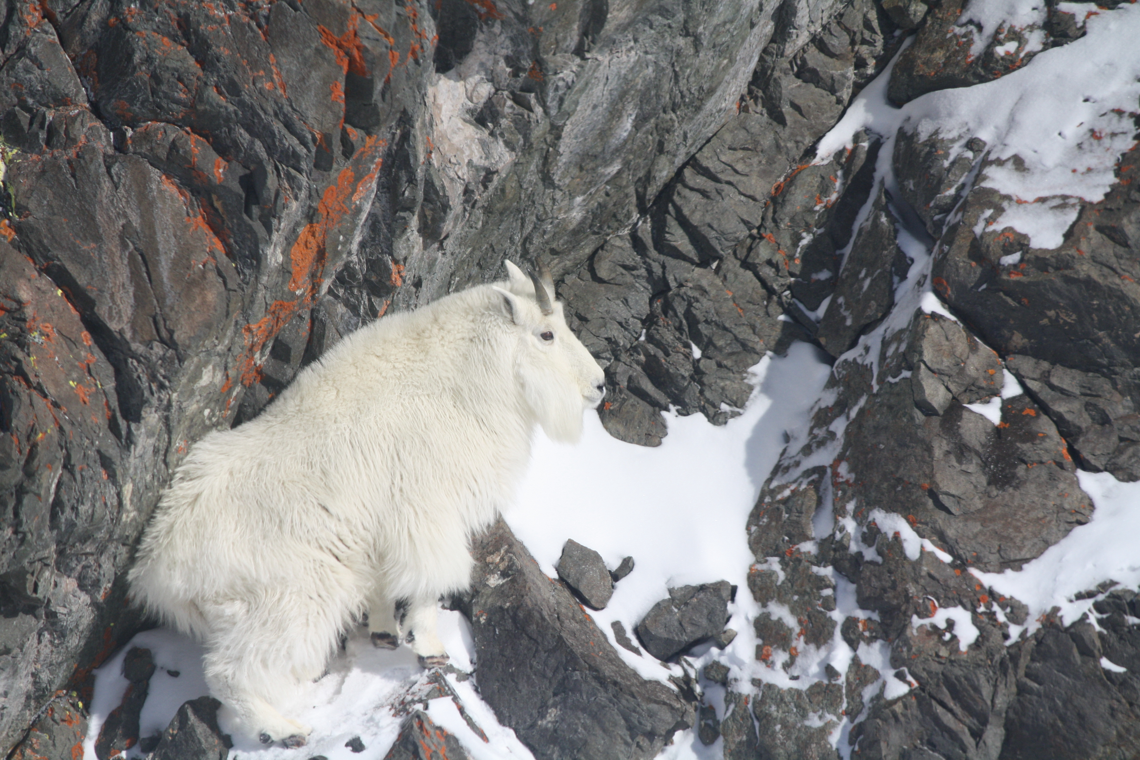 mountain goat in boulders covered in snow February 2012