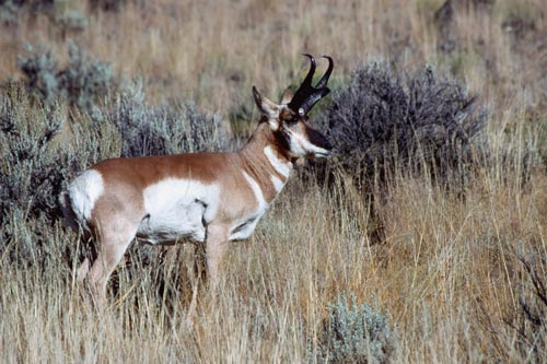Buck Pronghorn antelope in sagebrush
