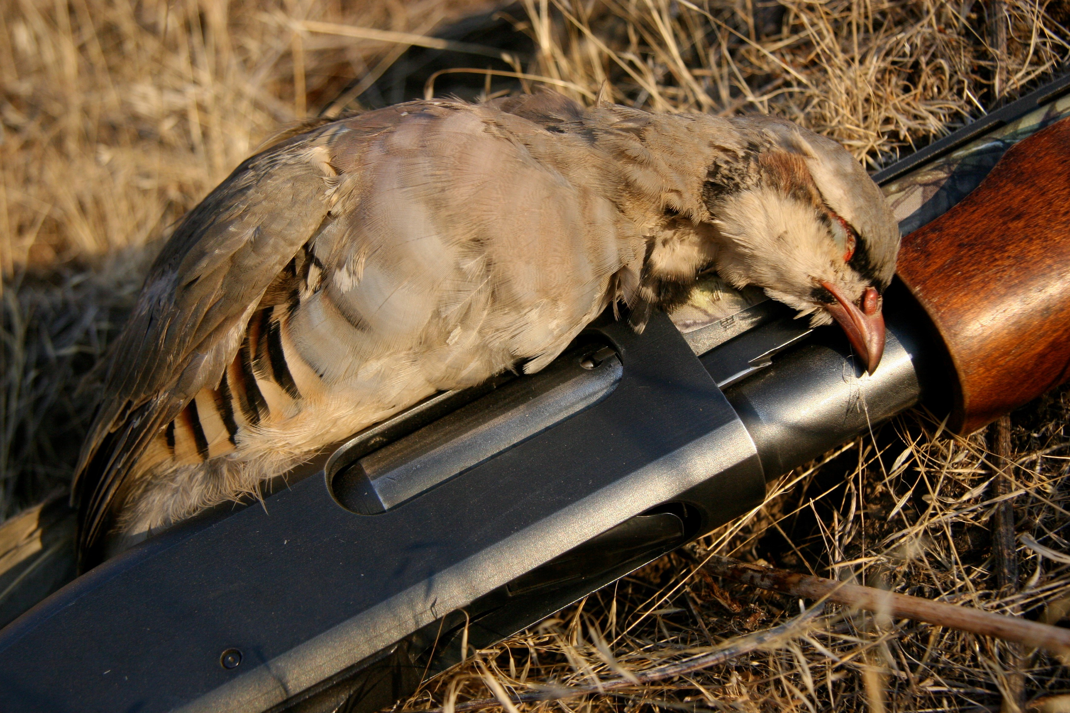 Chukar and shotgun, cc-by Roger Phillips