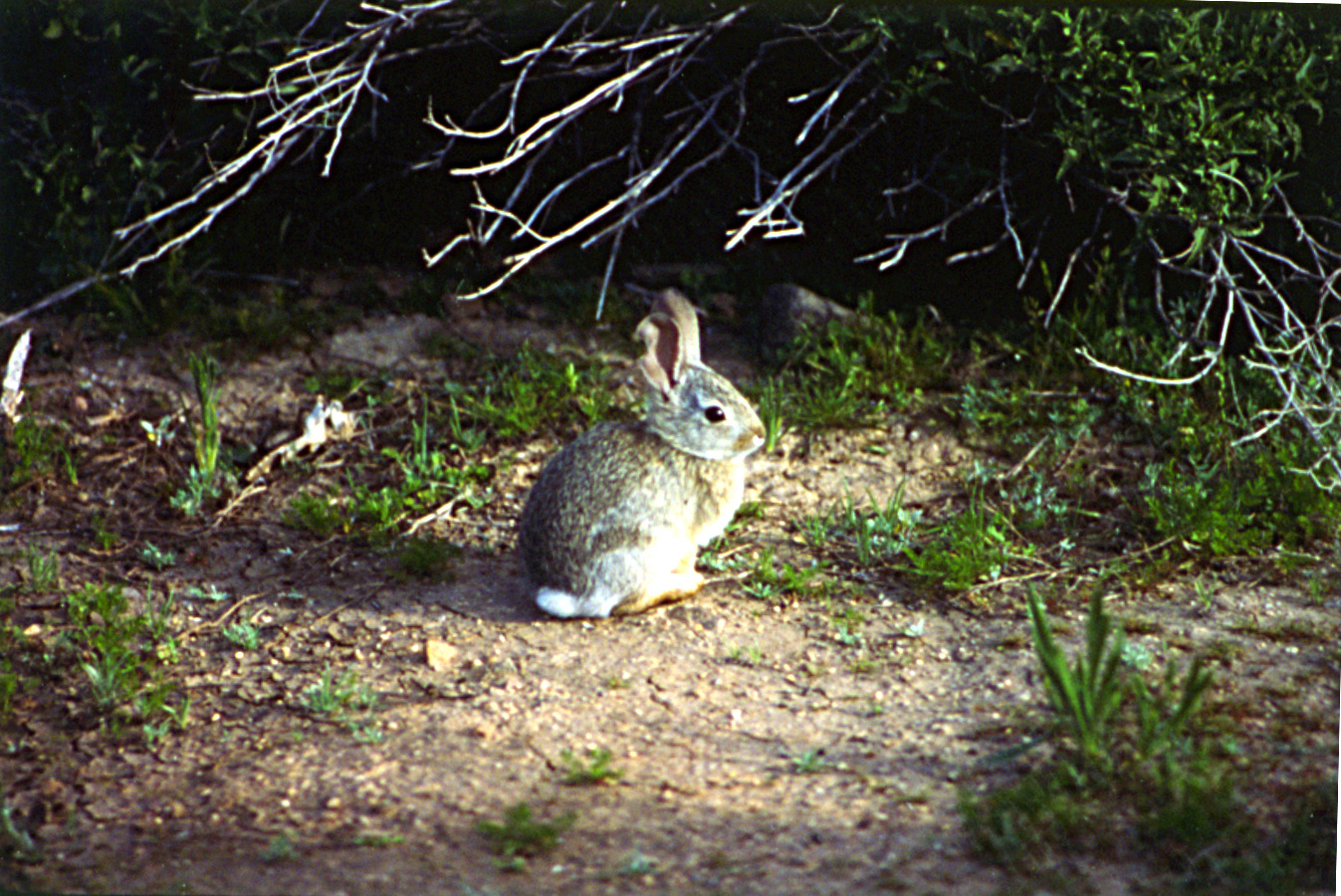 Big Cottonwood Wildlife Management Area WMA cottontail rabbit medium shot