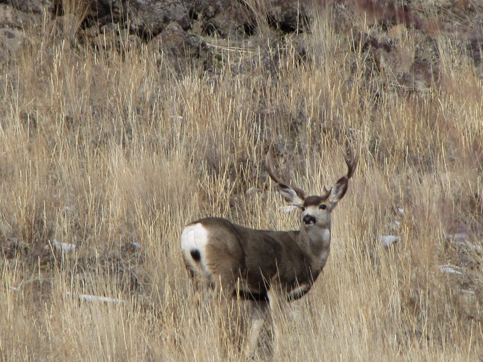 Mature mule deer buck