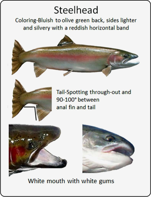 Salmon differences - Steelhead