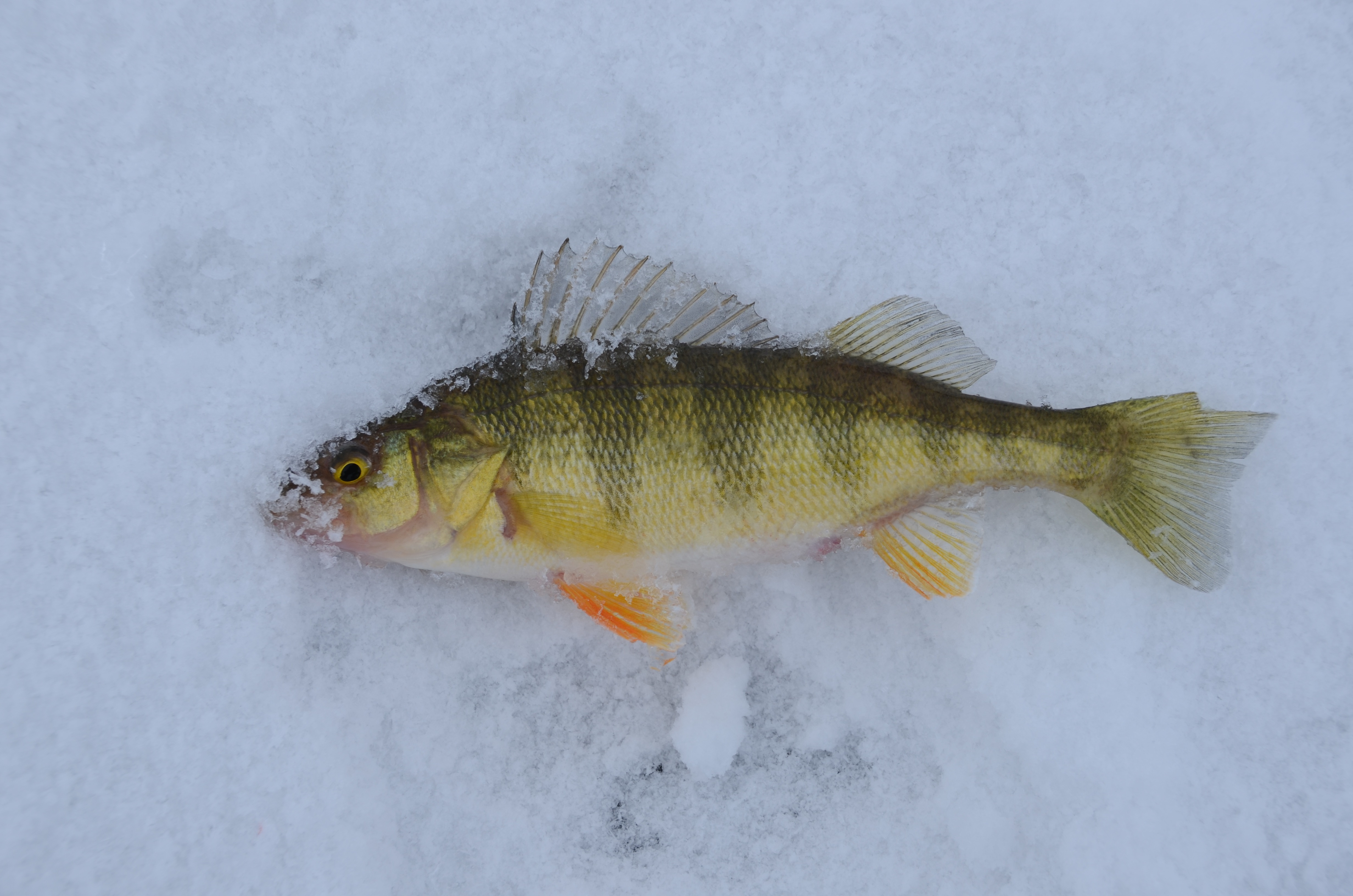 Ice fishing idaho s coolest angling opportunity idaho for Ice fishing perch lures