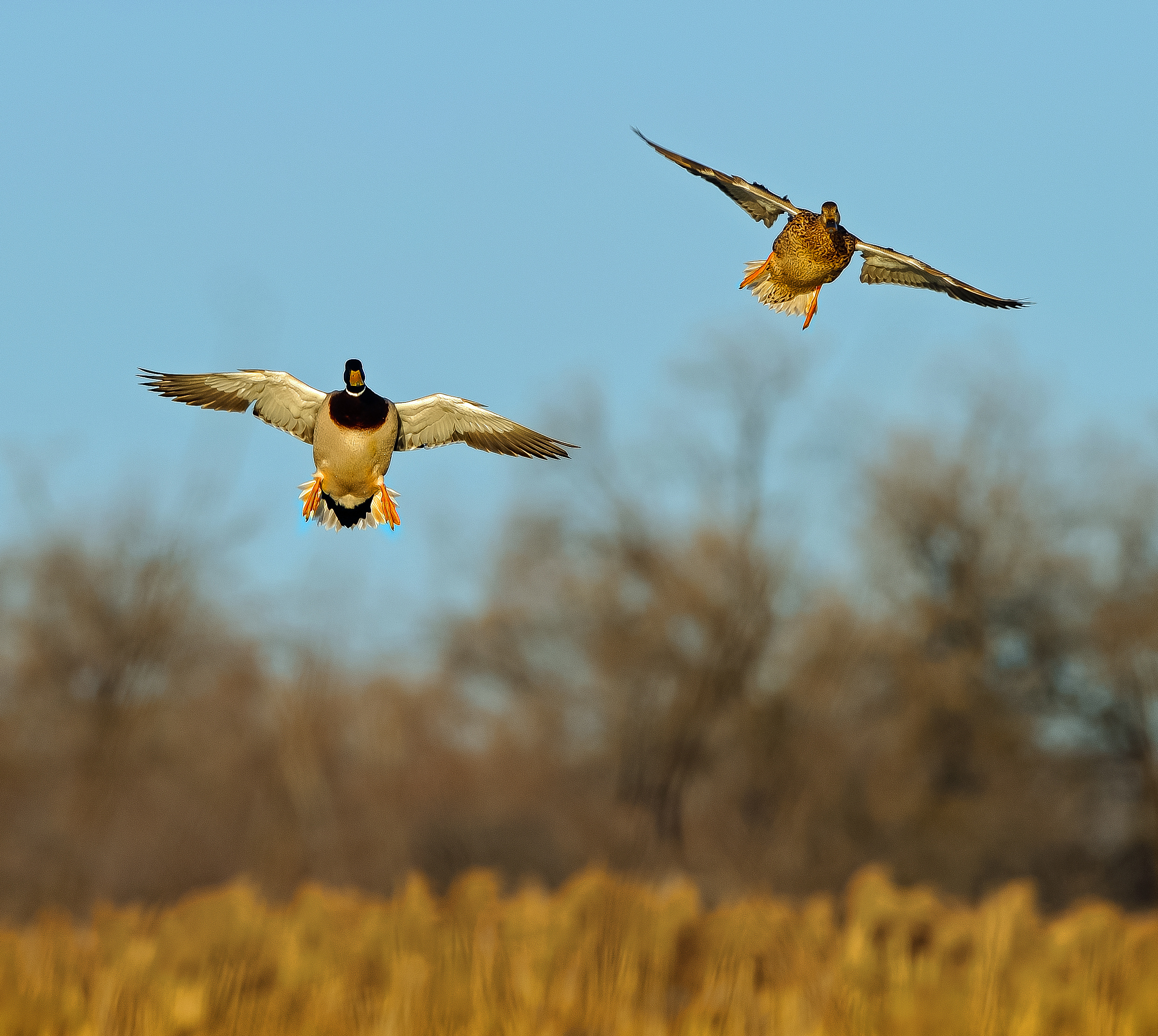 mallard pair flying March 2011