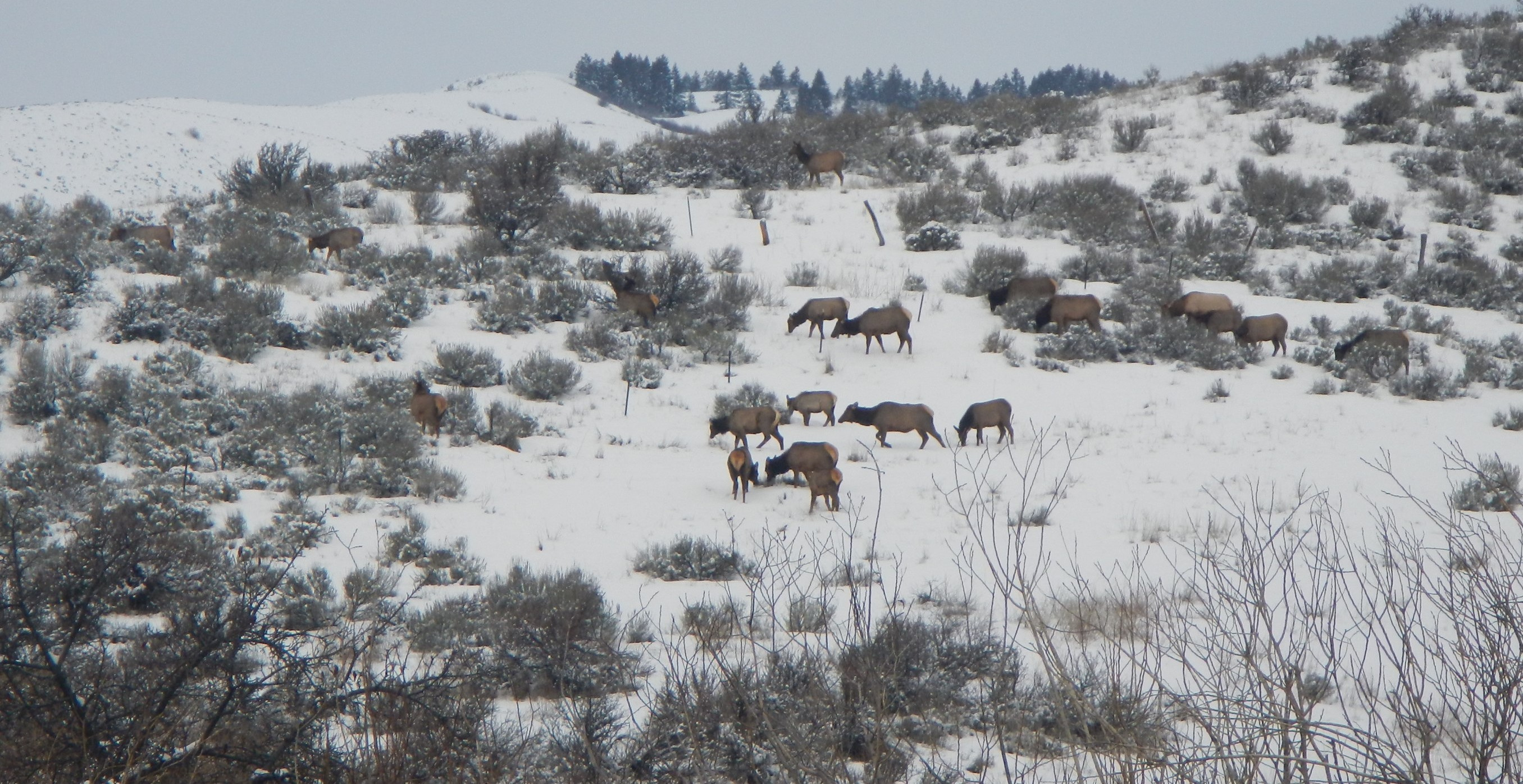 Elk at the Boise River WMA