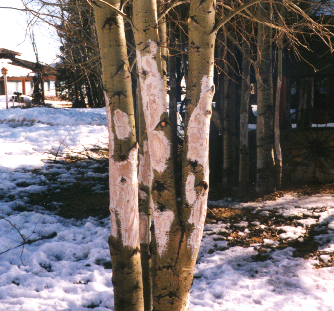 elk damage to a tree livivng with urban wildlife