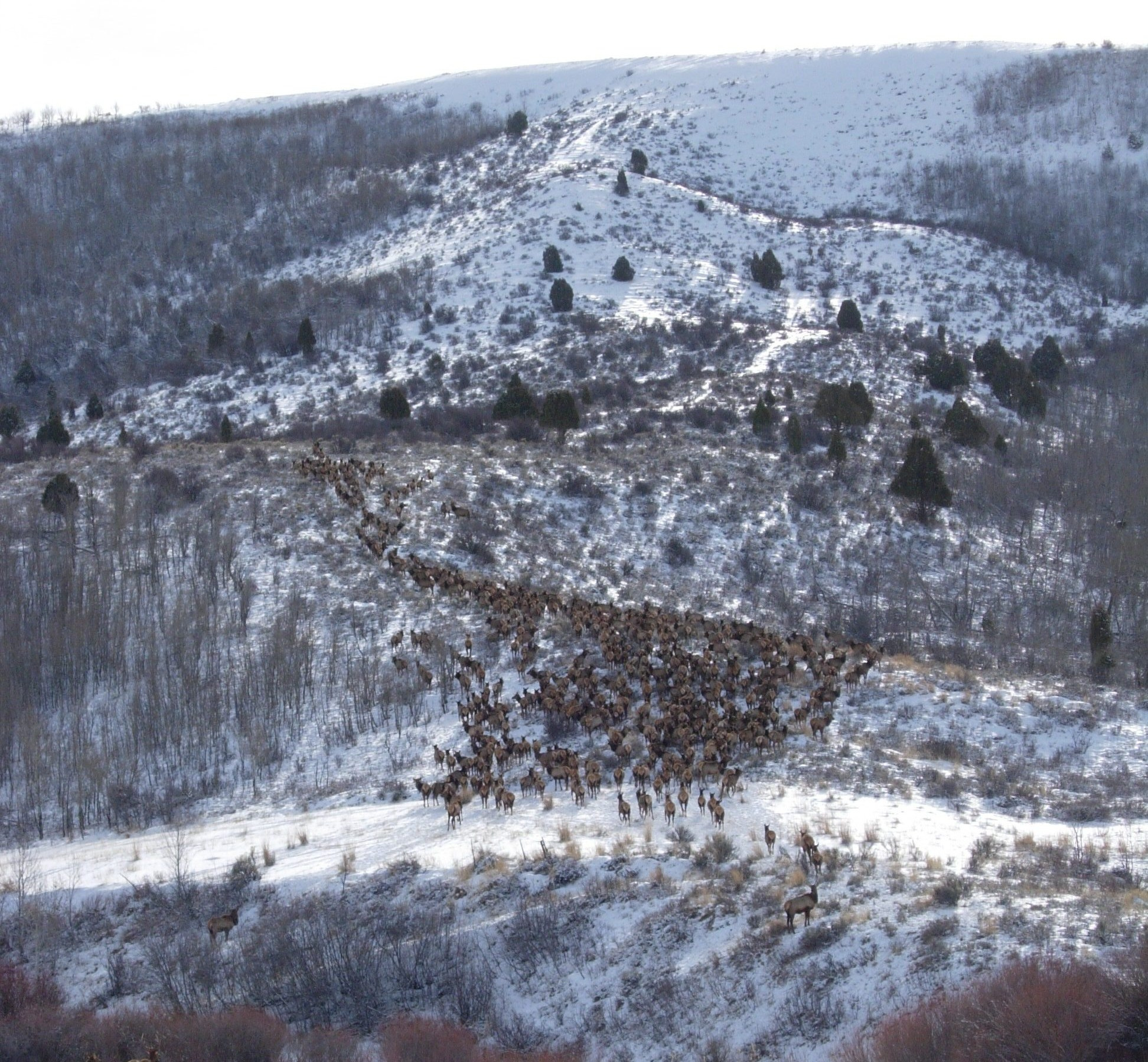 large elk herd in snow at the Tex Creek WMA Wildlife Management Area