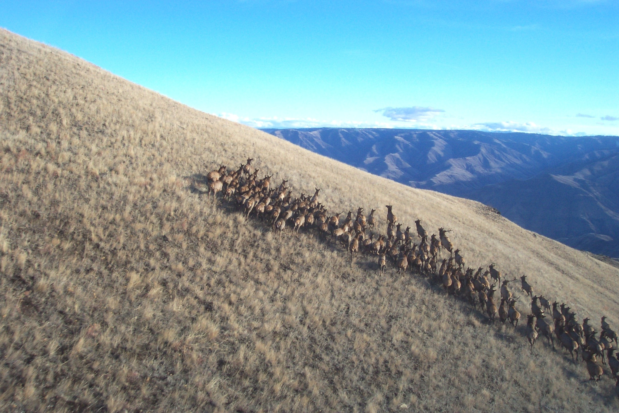 elk herd on a slope in the CMWMA Craig Mountain Wildlife Management Area October 2013 wide aerial shot