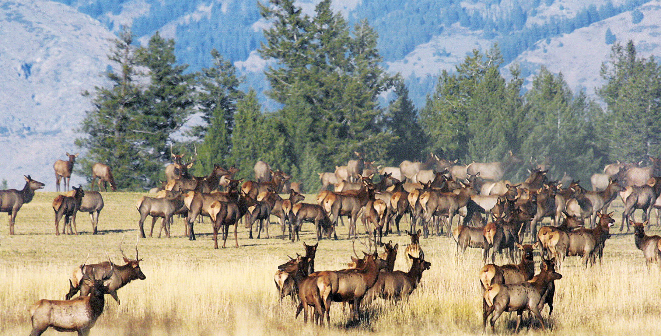 large herd of elk medium shot March 2011