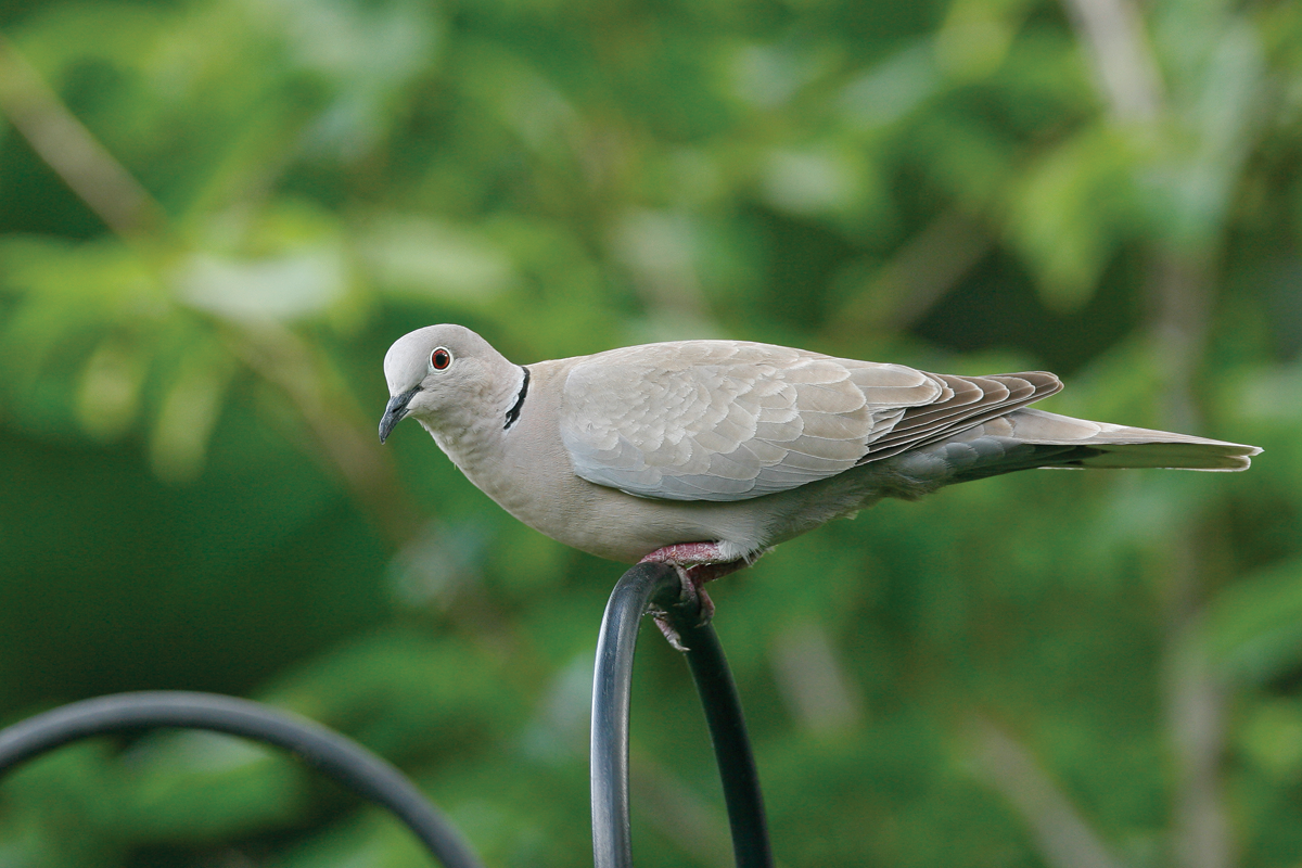 eurasian collared dove April 2006