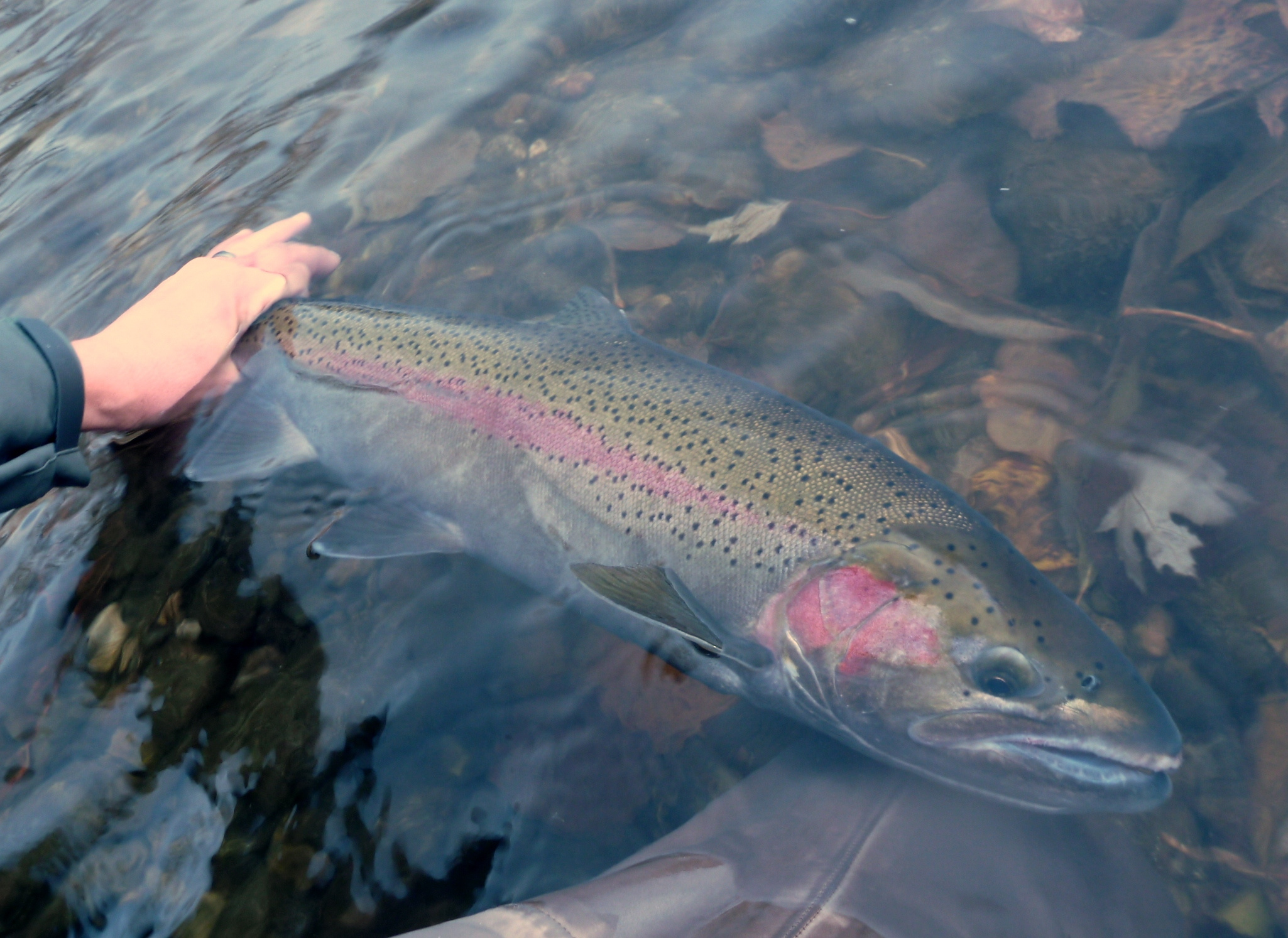 Steelhead fishing status catch and release only idaho for Idaho fish and game regulations