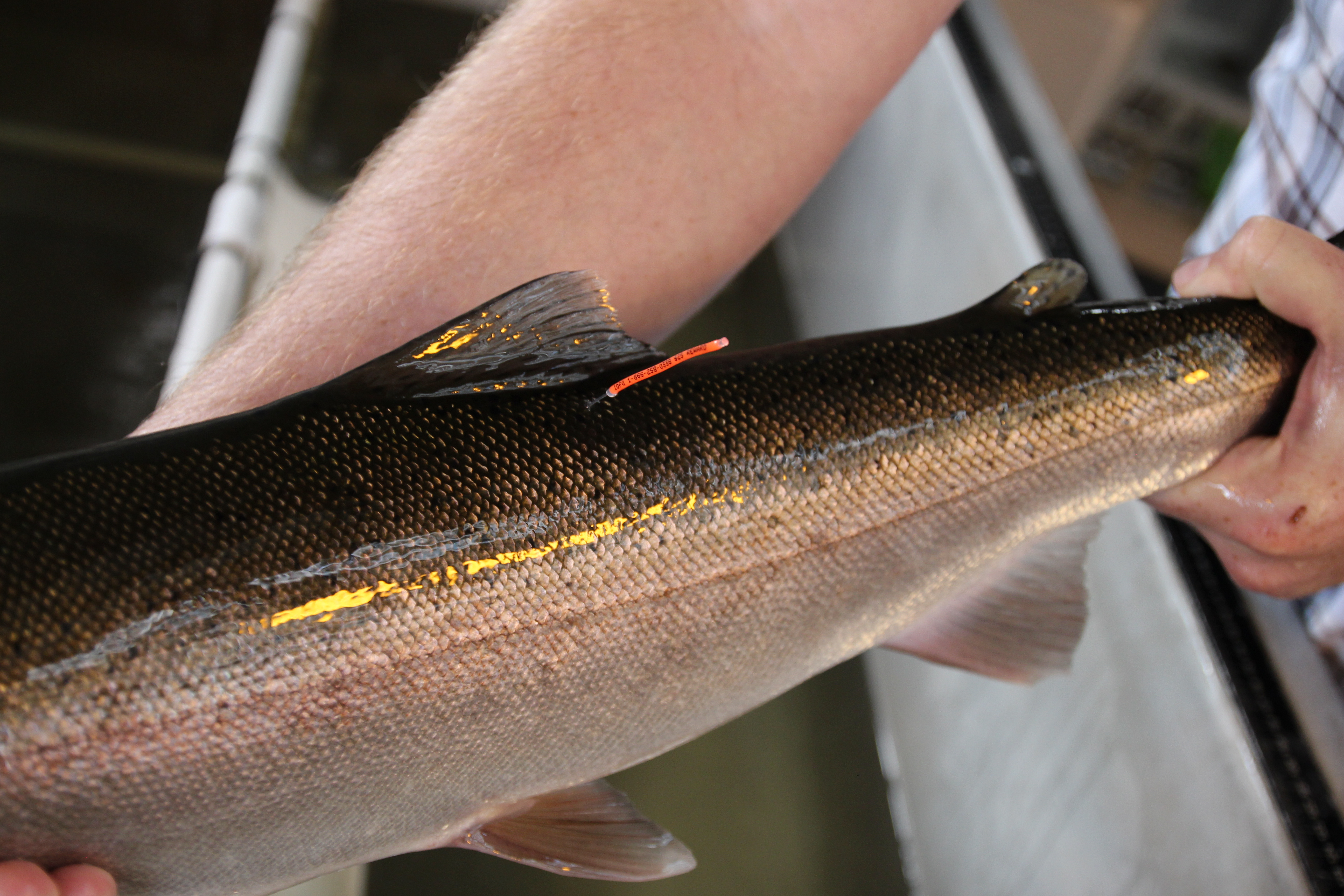 Picture of t-bar tagged adult steelhead from Lower Granite Dam.