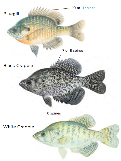 Bluegill and Crappie / Images by Joseph Tomelleri