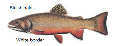 Brook trout / Image by Joseph Tomelleri