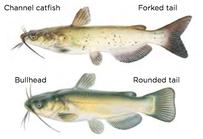 Channel and Bullhead catfish / Images by Joseph Tomelleri