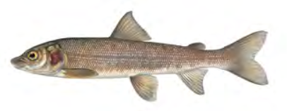 Mountain Whitefish / Image by Joseph Tomelleri