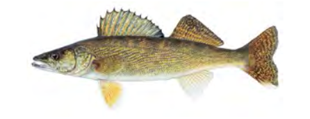Walleye / Image by Joseph Tomelleri