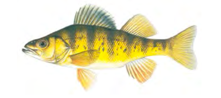 Yellow Perch / Image by Joseph Tomelleri